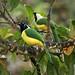 Inca Jay pair