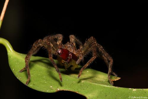 Wandering spider (Ctenidae) consuming click beetle (Elateridae) prey