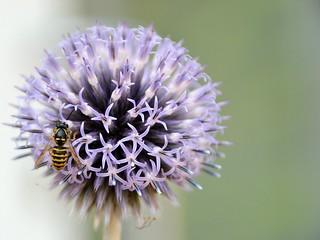 Blossom vs. Wasp