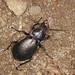 Ground Beetle - Carabus nemoralis
