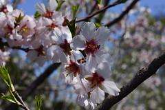 Prunus dulcis 'Primorskyi' SEASIDE (almond tree), National Herb Garden