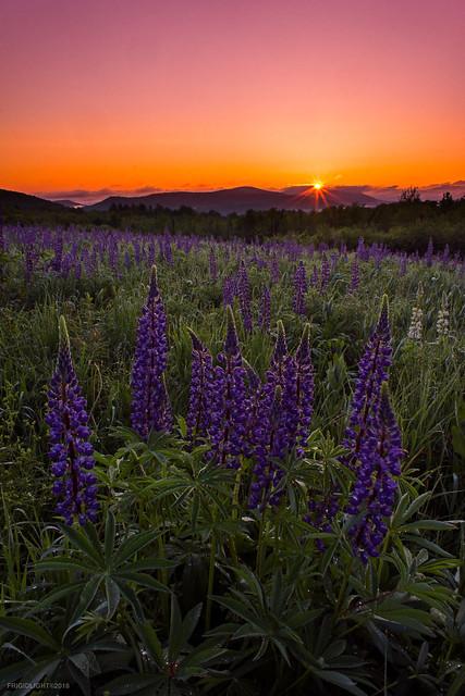 Lupine Sunrise Sunburst