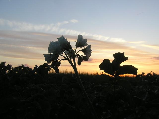 Solanum tuberosum 'Solist'
