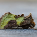 Burnished Brass - Diachrysia chrystis form juncta