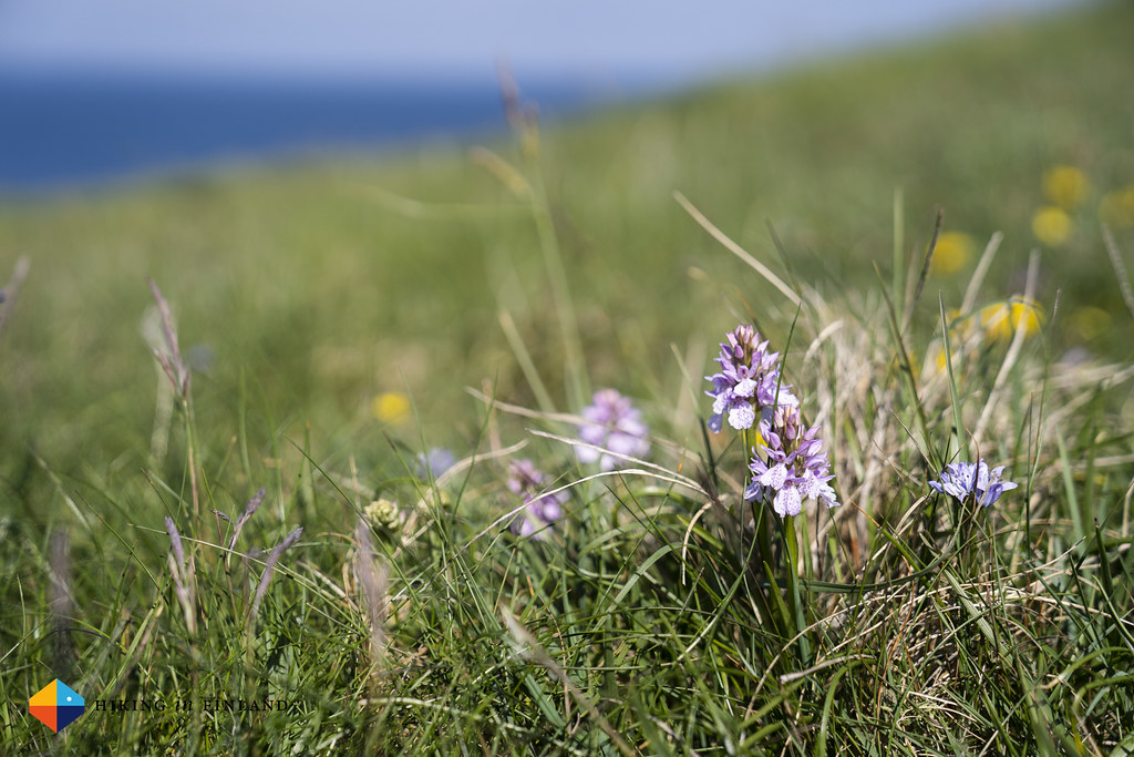 Orchids at Ramore Head