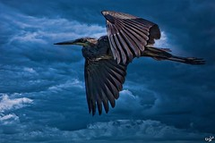 Stormbringer One from my archives 'cos, well, why not? :--) #heron #heroninflight #birdinflight #clouds #darkskies #flight #birdsofinstagram #birds #pixielatedpixels #chrislorddotnyc #chrislord #creativeimages #artphotography #edits #greatheron #inflight