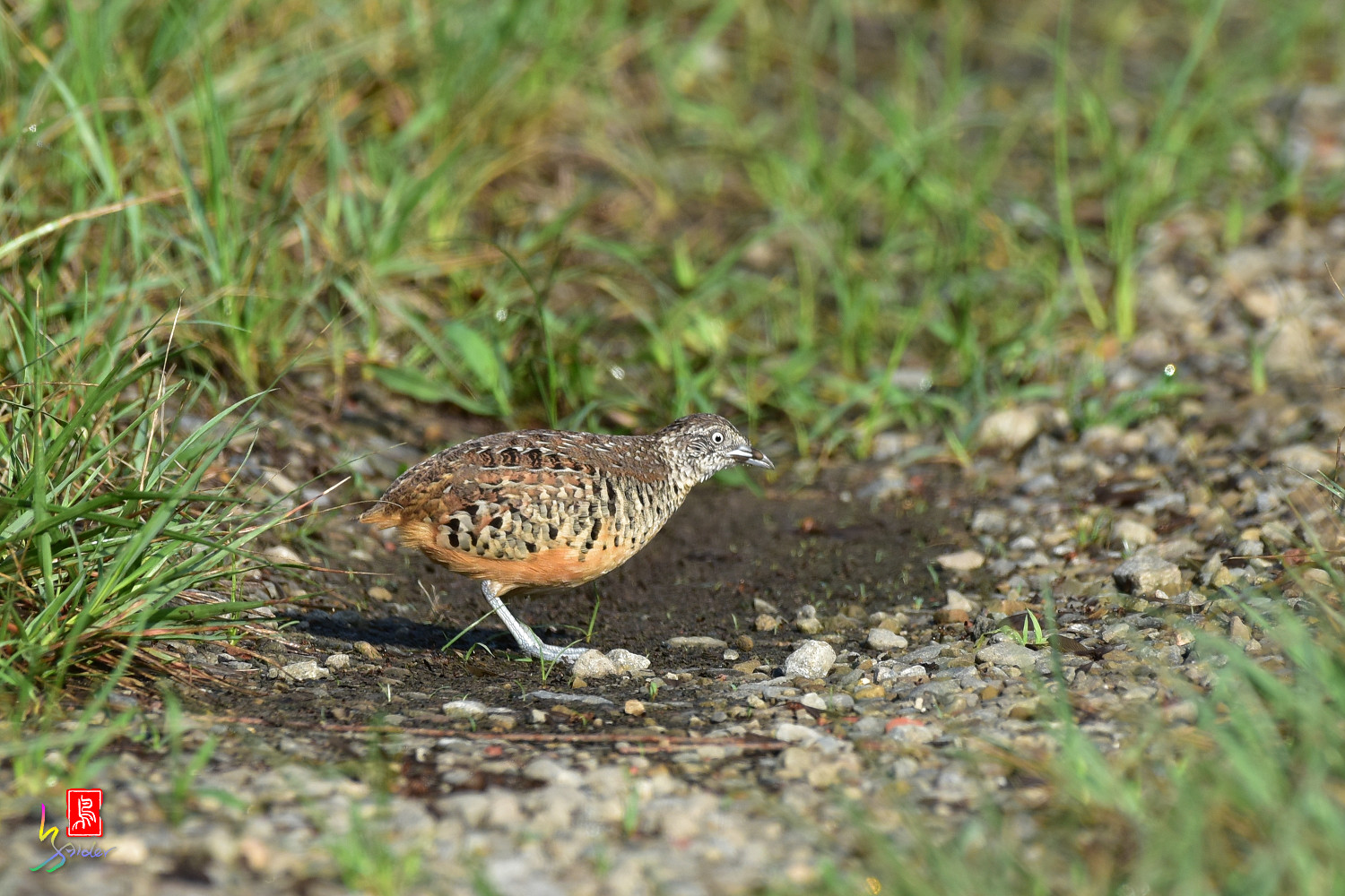 Barred_Buttonquail_3771