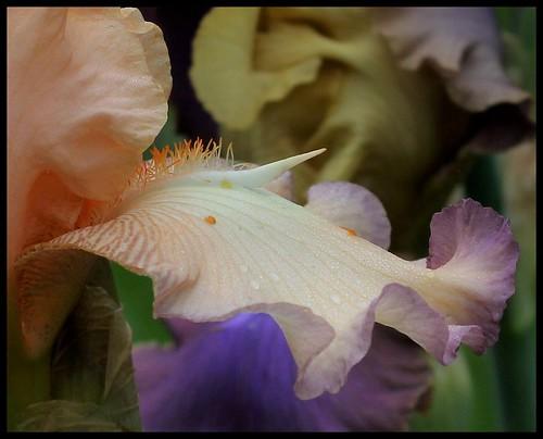 Iris 'Subtilité du Barry' - Rose-Linda Vasquez-Poupin 2009 42164107694_9642ff8943