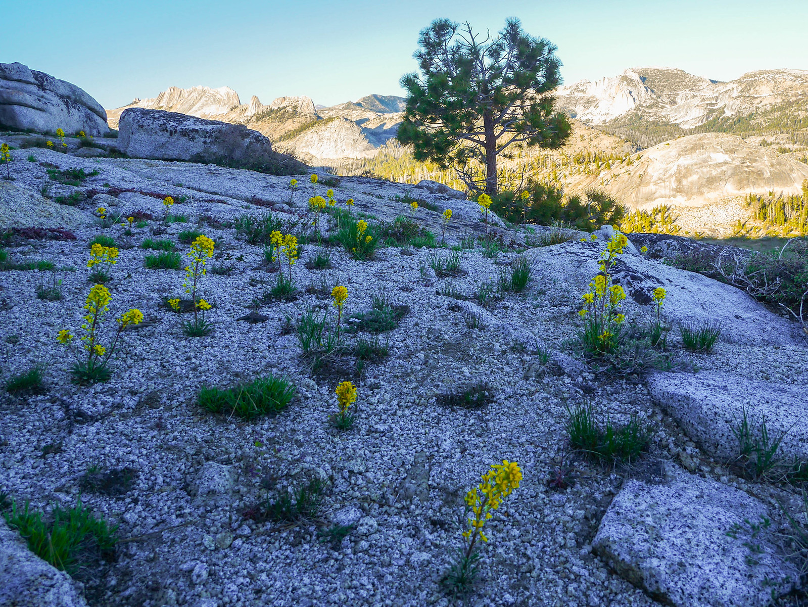 Seep-sing monkeyflower with the Matthes Crest and Sunrise domes in the background