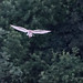 Barn Owl - Woods Mill (148)