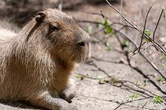 Capybara Profile