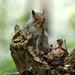 Eastern Grey Squirrel------ Sciurus carolinensis