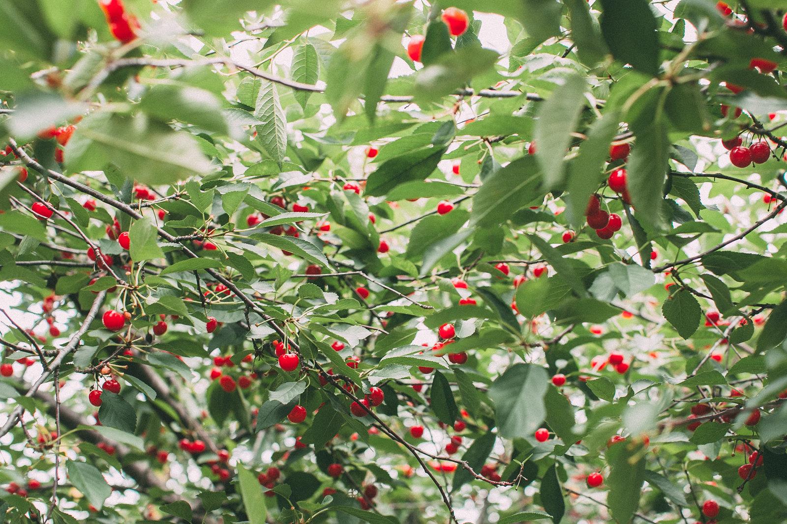 cherrynew-3