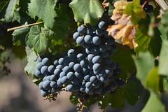 entre viñas (5)