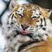 ROG_7374b Tiger