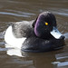 Tufted Duck Wollaton Park 5-3-18