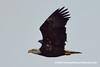 Bald Eagle (Haliaeetus leucocephalus), adult DSC_6970 by fotosynthesys