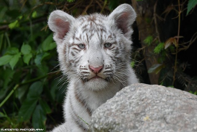 Bengal White Tiger Cub - Zoo Amneville