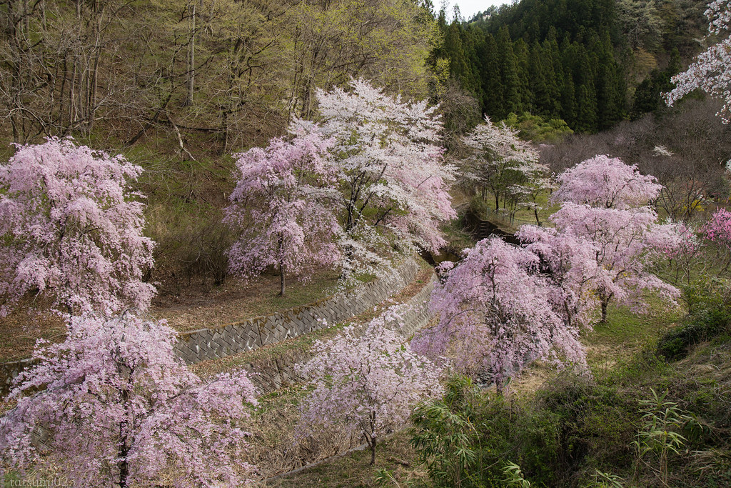 2018-04-06 里山のシダレザクラ 002