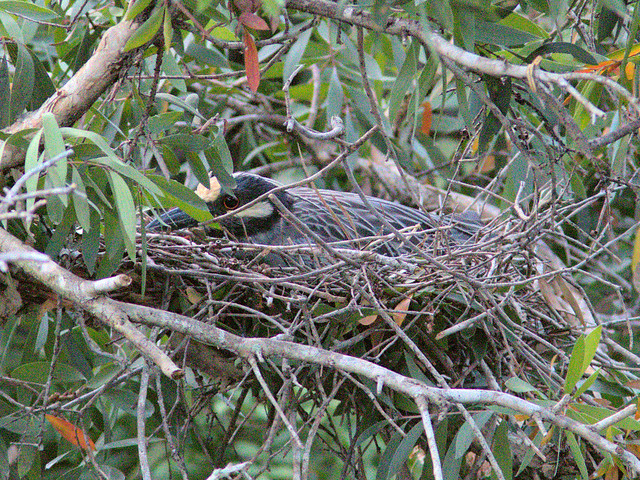 Yellow-crowned Night-Heron incubating position 12  20180415