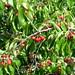 Cherry @ Annecy-le-Vieux