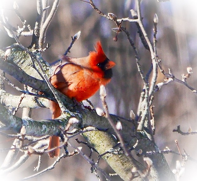Northern Cardinal about to take off1