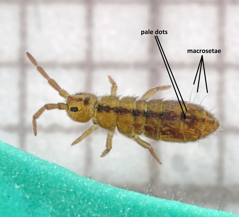 Isotomurus pseudopalustris