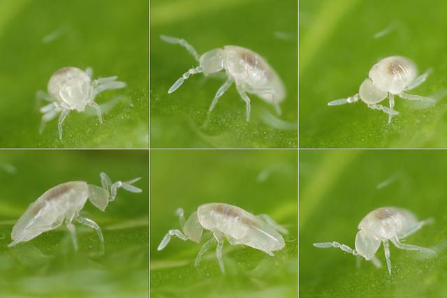 Cyphoderus albinus