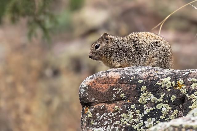 Squirrel-5-7D2-052618