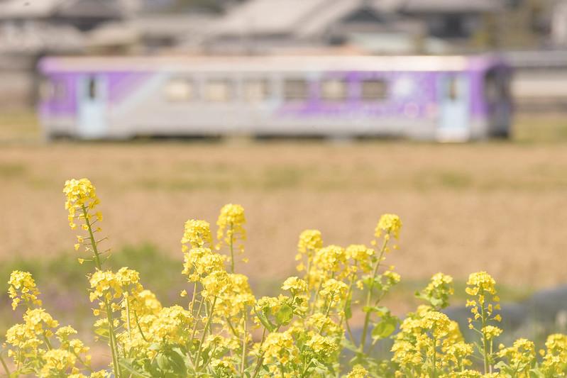春の北条鉄道2