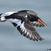 oystercatcher 12 2018 in flight