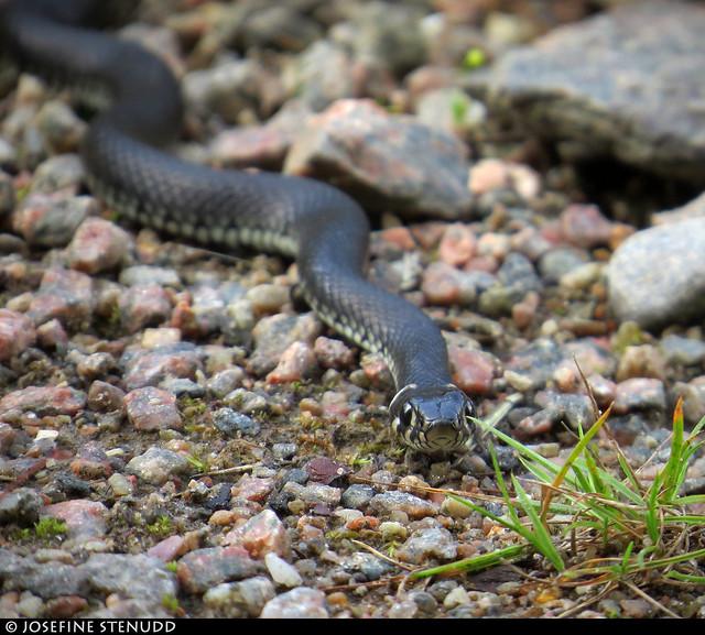 20170808_6 Grass snake (Natrix natrix) | The Bohusleden trail, section 12 - Vassbovik to Glimmingen | Bohuslän, Sweden