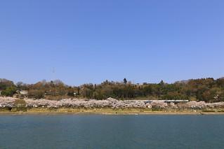 上野原の桜