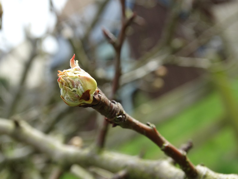Pear Leaf Bud