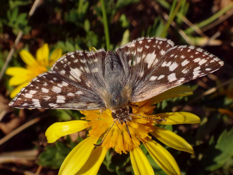 Checkered. Heliopyrgus americanus, American White Skipper, Buenos Aires, Argentina