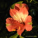 Inticancha Romance Peruvian Lily