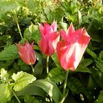 Tulip three in a row