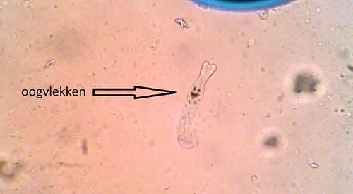 Kieuwworm2