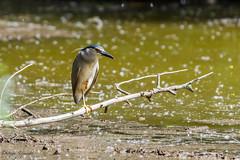 Bihoreau gris (Nycticorax nycticorax - Black-crowned Night Heron)