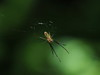 Photo:Small orb weaver spider By Greg Peterson in Japan