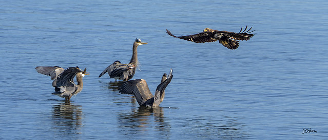 Herons vs Eagle
