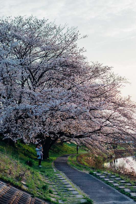 CherryBlossoms_02