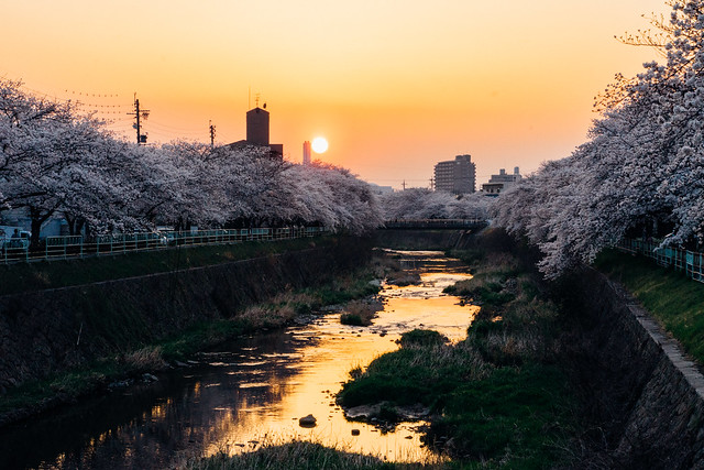 CherryBlossoms_50