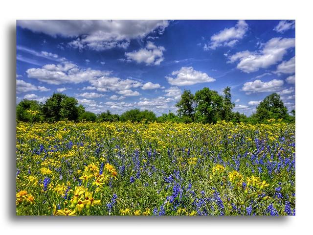 Field of Texas Wildflowers