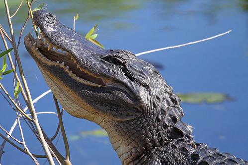 American Alligator - Alligator mississipiensis, Everglades National Park, Homestead, Florida