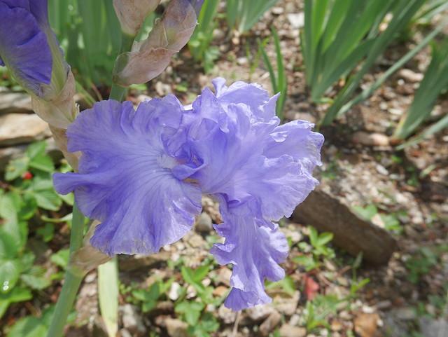 Iris 'Delta Blues' - Schreiner 1994 27414154687_859d448b11_z