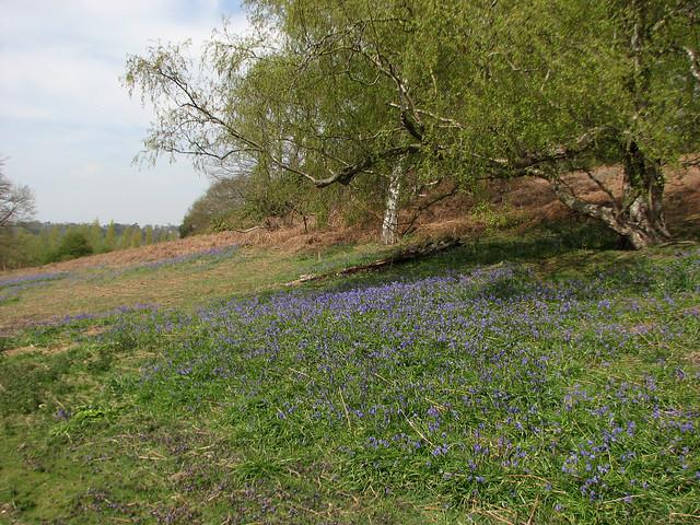 Bluebells near Woodbridge