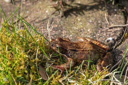 Rana temporaria, grass frog, Grasfrosch