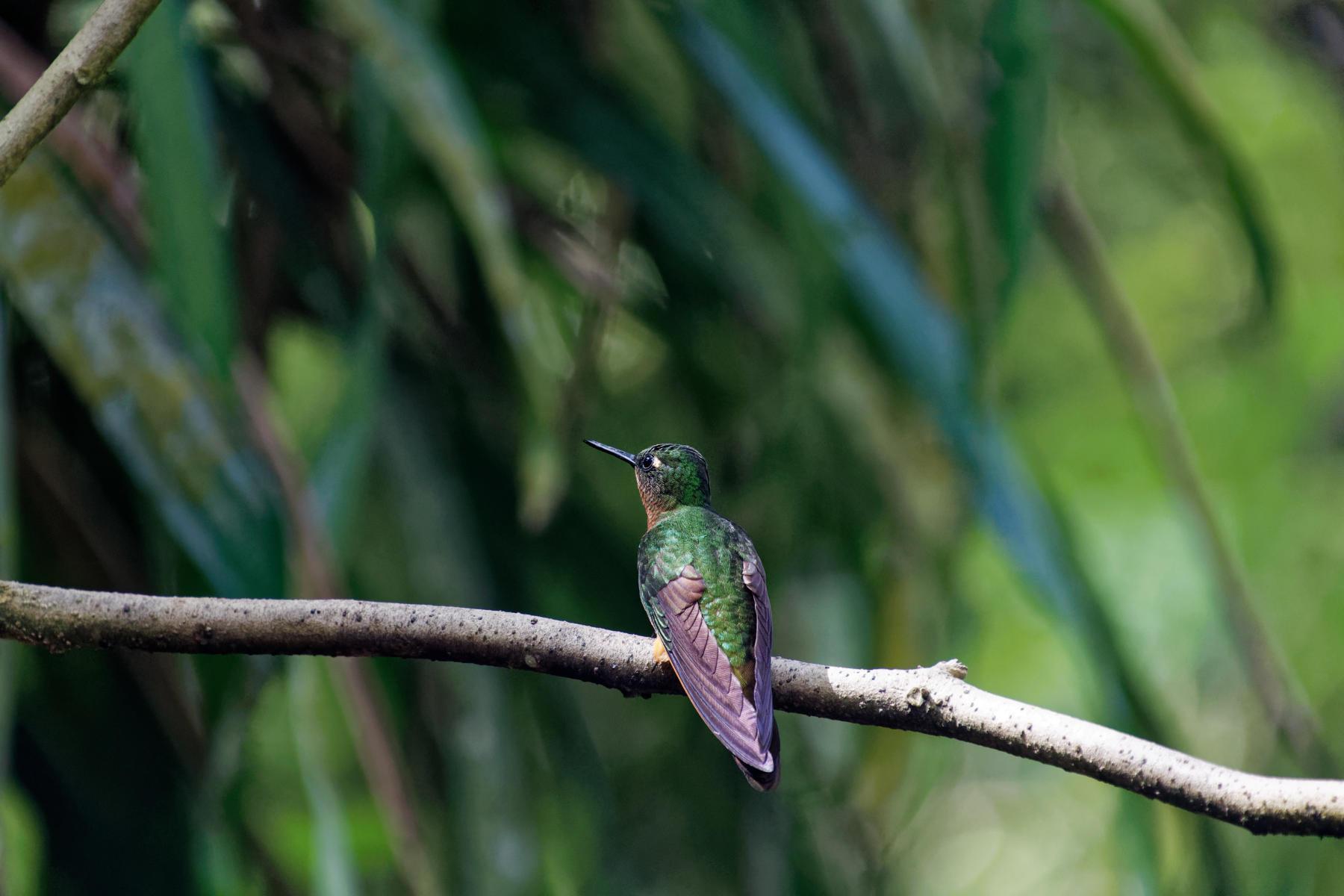 A Gould's Inca Hummingbird?