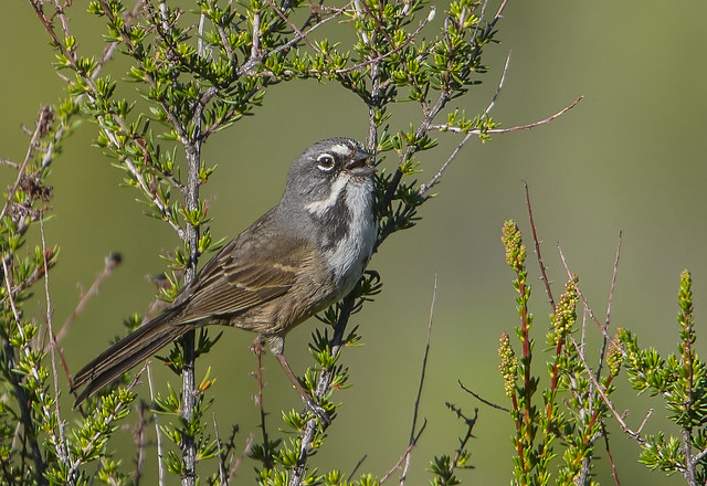 Bell's Sparrow (117)
